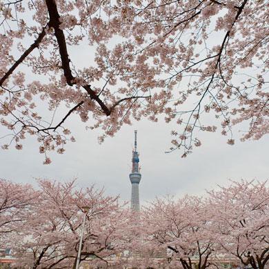 Hanami 花見 – Asakusa