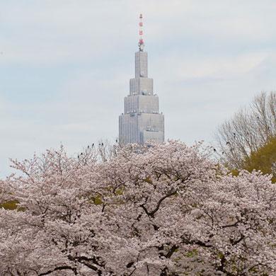 Hanami 花見 – Yoyogi park