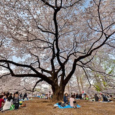 Hanami 花見 – Shinjuku Gyoen