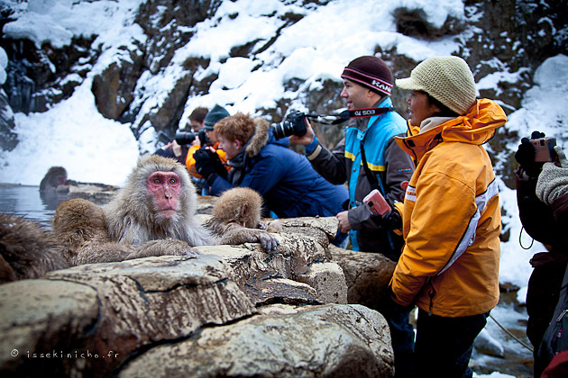 jigokudani, onsen, snow monkey, singe des neiges