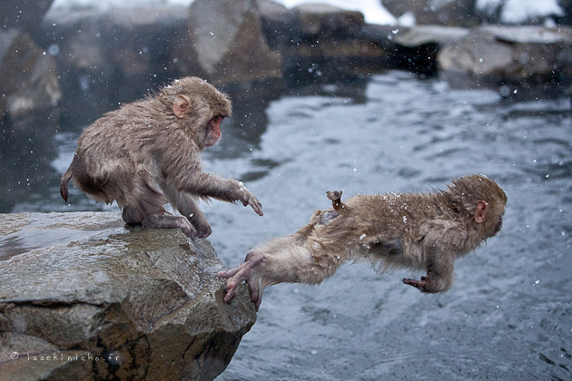 jigokudani, onsen, singe des neiges, snow monkey