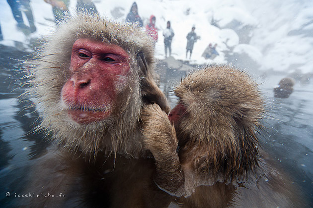 jigokudani, onsen, singe des neiges, snow monkey, nagano