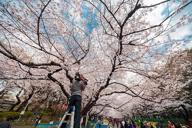 Parc ueno, hanamu sakura cerisier en fleurs tokyo
