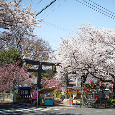 Hanami le long de la Nakano dori • 中野通り