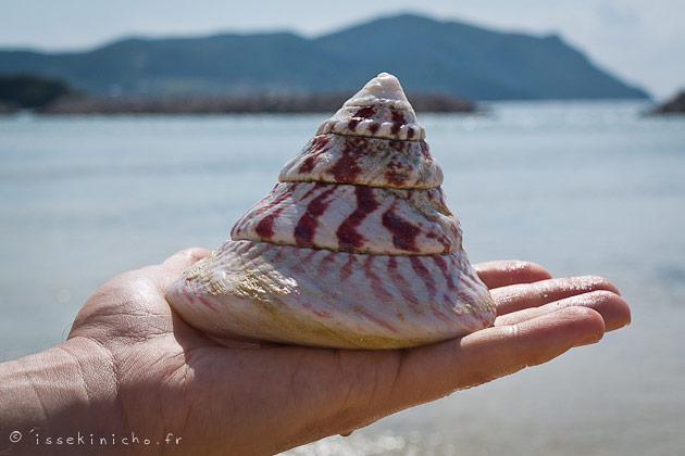 okinawa, japon, coquillage, japan, island, shell