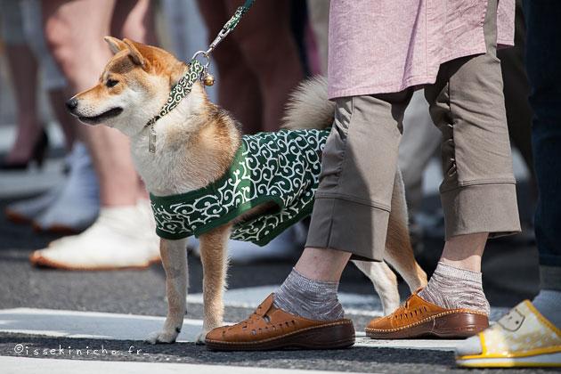shiba, inu, tokyo, chien japonais