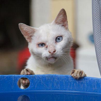 Un grumpy cat japonais