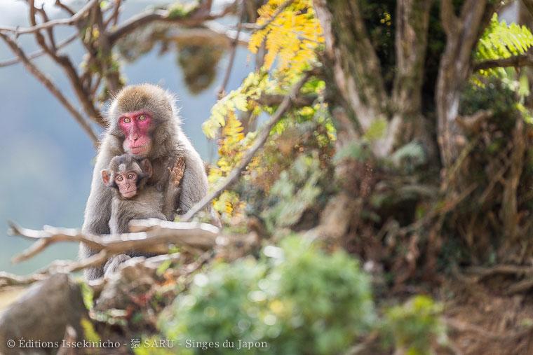 saru, monkey, singe, japan, japon, kyoto, arashiyama, iwatayama