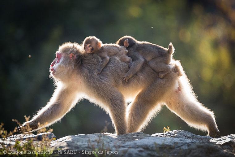 saru, monkey, japan, japon, singe, nagano, jigokudani