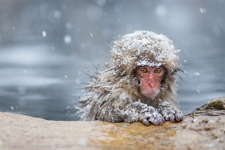 saru, monkey, singe, japan, japon, onsen, neige, snow, jigokudani, nagano