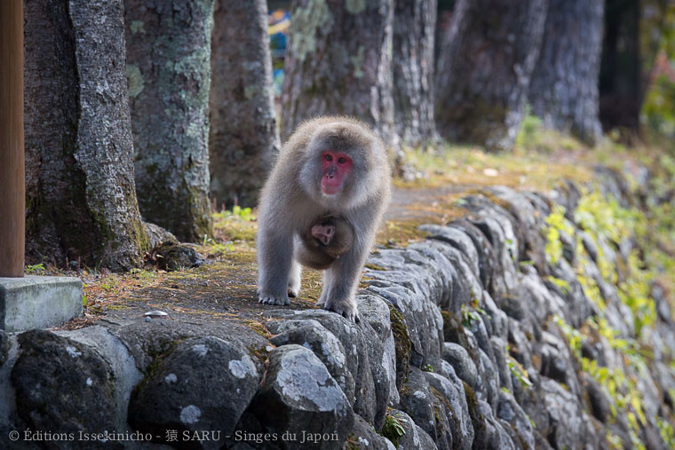 saru, monkey, singe, japon, japan, nikko