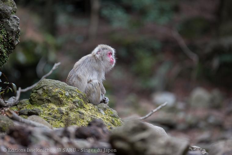 saru, monkey, singe, shodoshima, japon, japan, seto naikai