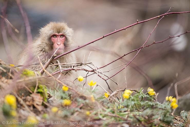 monkey, snowmonkey, japan, nagano, wildlife, hot spring, onsen