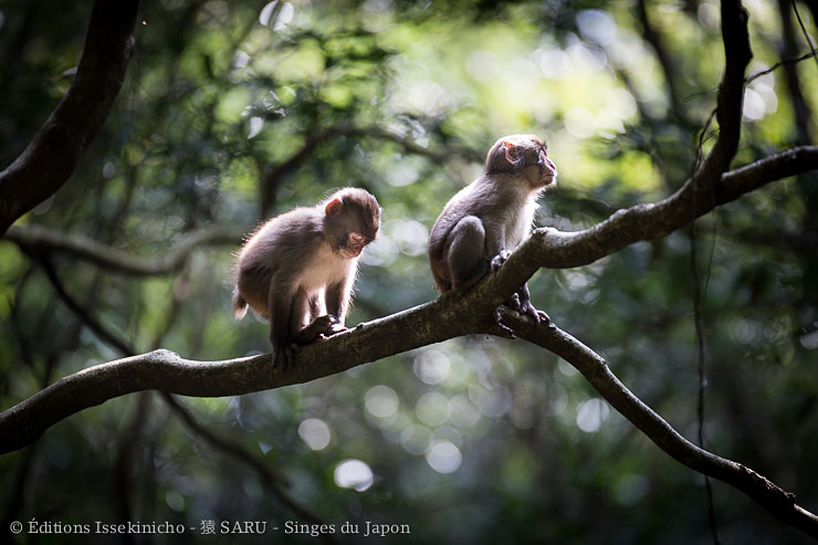 kojima, monkey, japan, wildlife
