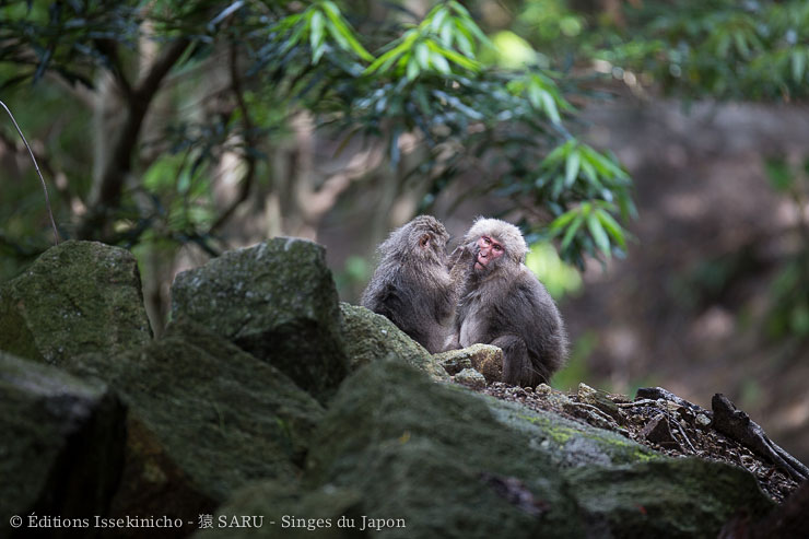 japan, yakushima, monkey, baby, wildlife