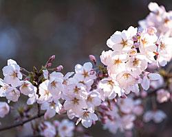 Photo d'un cerisier en fleurs au Japon