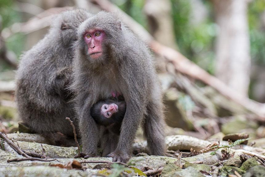 singe, japon, monkey, japan, snowmonkey, snow monkey, macaque, macaca fuscata, saru, nihonzaru