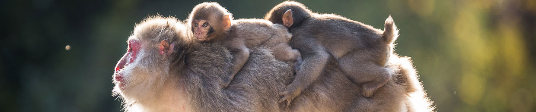 Saru, singes du Japon, livre photo animalière